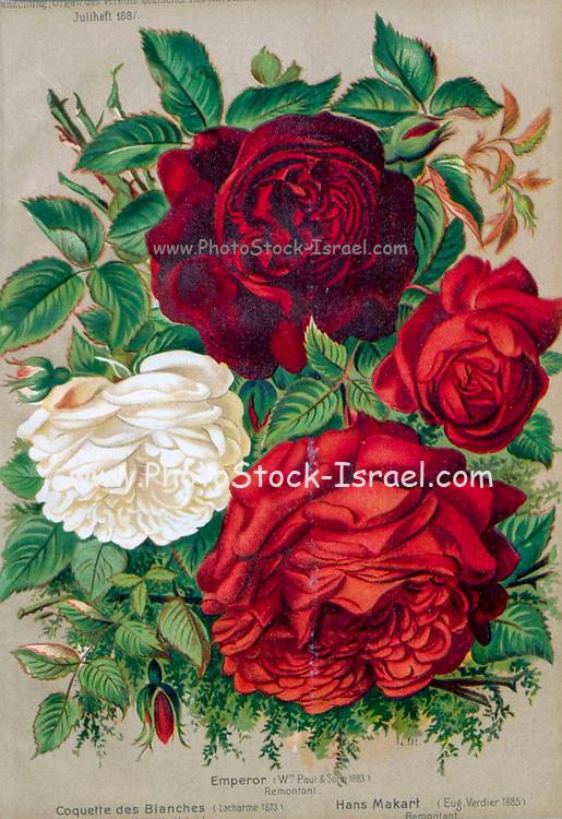 Hand painted and coloured Bouquet of Red and white roses 1887 from Rosen-Zeitung, Organ des Vereins Deutscher Rosenfreunde, 1887 [Periodical of the German Rose Society (Vereins Deutscher Rosenfreunde)] by C. P. Strassheim
