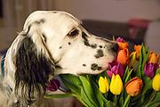 """English Setter """"Rudy"""" riecht am 31.10. 2018 an frischen Tulpen aus Amsterdam im Prager Stadtteil Zizkov, Tschechische Republik.  Rudy wurde Anfang Januar 2017 geboren."""