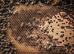 THEMENBILD - das Bienenvolk verschließt die Waben, in denen die Königin die Eier abgelegt hat, aufgenommen am 12. Juni 2019, Piesendorf, Österreich // the bee colony closes the honeycombs in which the queen has laid the eggs on 2019/06/12, Piesendorf, Austria. EXPA Pictures © 2019, PhotoCredit: EXPA/ Stefanie Oberhauser
