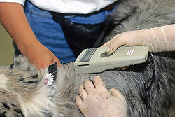 Reading Chip In Dog For Identification