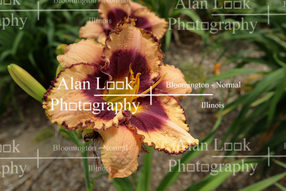 Peach, purple and yellow colored lily (Lilium) bloom