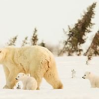 This Polar  Bear Mother with her two three-month-old cubs have recently left their birthing den in Wapusk National Park south of Churchill, Manitoba Canada and are making the trek to the Hudson Bay.
