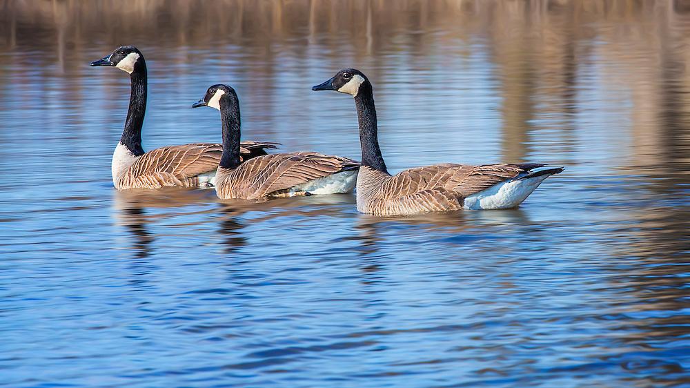 Three Geese Swim Along In Blue Waters