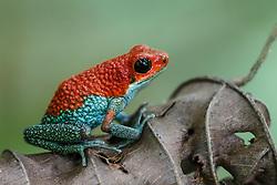 Granular poison frog (Oophaga granulifera) , Corcovado National Park, Osa Peninsula, Costa Rica