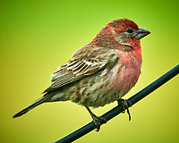 House Finch Image taken with a Nikon D850 camera and 600 mm f/4 VR lens with a 2.0x TC-EIII teleconverter.