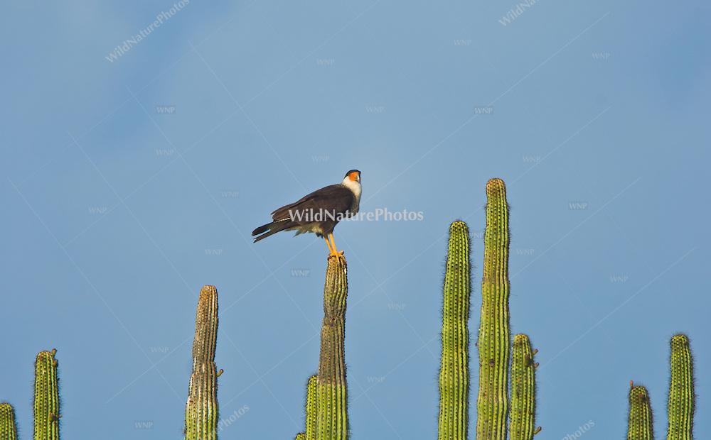 A Crested Caracara (Caracara cheriway) perched on an Organ Pipe Cactus (Stenocereus thurberi), Sonora, Mexico