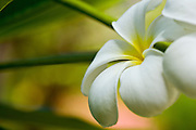 Macro image of a frangipani tree in bloom in Thailand.