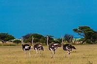 Ostriches walking, Nxai Pan National Park, Botswana.