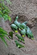 Coca - Sunday, Dec 23 2007: Yellow-crowned Amazons (Amazona ochrocephala) and Scaly-naped Amazons (Amazona mercenaria) on a clay lick at Yasuni National Park.  (Photo by Peter Horrell / http://www.peterhorrell.com)