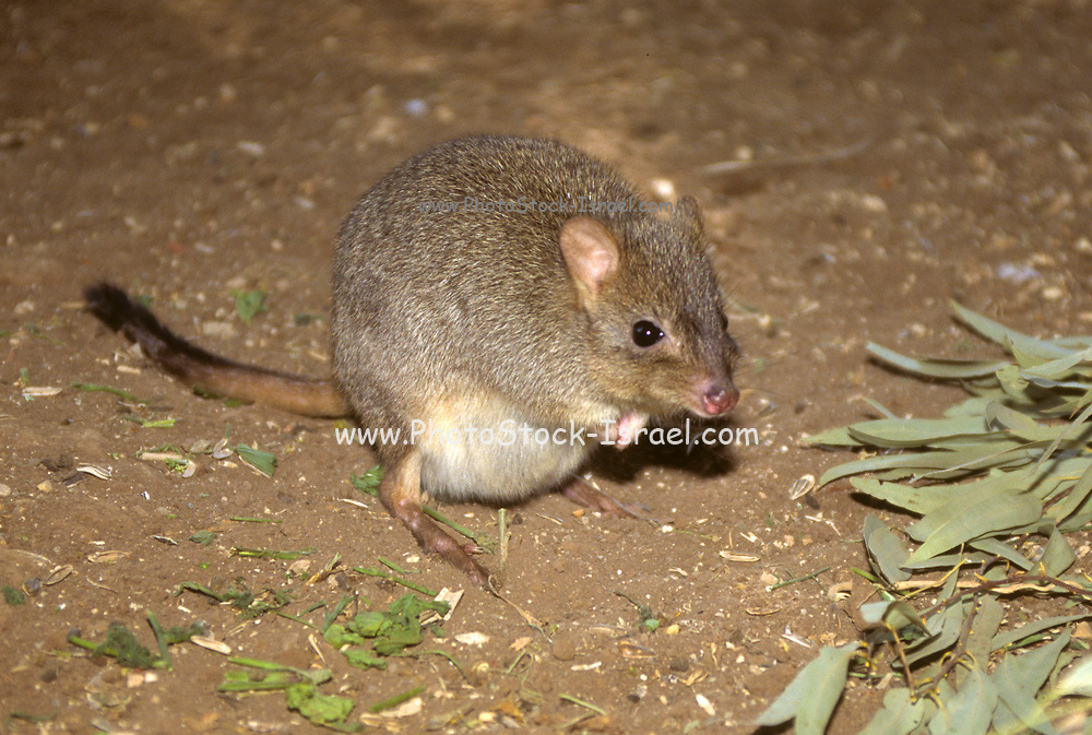 Brush-tailed bettong (Bettongia penicillata). Also known as the short-nosed rat kangaroo or the woylie, this animal is a small (30-40 centimetres long) Australian marsupial. Marsupials raise their young in pouches after birth. This bettong is rare and endangered. Once widespread over Australia, it is now limited to south-western areas. It does not drink water and is mostly fungivorous, feeding at night on fungi in scrubland and open woodland. Fungi are nutritionally deficient for mammals, but this bettong's stomach bacteria digest the fungi to provide the required nutrients.