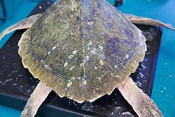 Marks On Olive Ridley Sea Turtle, Welfleet Bay Wildlife Sanctuary, Audubon