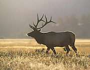 A bull elk (Cervus elaphus) surveys his territory in Rocky Mountain National Park, Colorado
