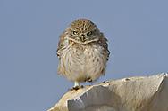 Lilith Little Owl - Athene noctua lilith