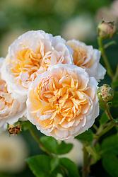 Rosa 'The Lady Gardener' syn. 'Ausbrass'