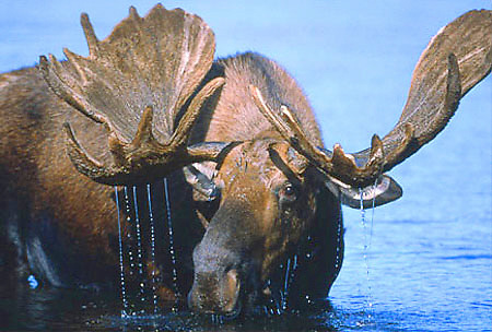 Alaska. Moose. Alces alces. Bull in velvet feeding on underwater vegetation in a pond with water streaming from its antlers