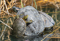 Three Red-eared Sliders, Trachemys scripta elegans, bask on a floating branch in the Riparian Preserve at Water Ranch, Gilbert, Arizona