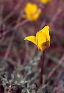 Tulip in Charyn Canyon, Kazakhstan