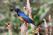 Kenya, Samburu National Reserve, Kenya, Superb Starling (Lamprotornis superbus).
