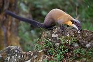 Taiwan or Formosan Yellow-throated Marten, Martes flavigula chrysospila, Alishan National Recreational Forest, Taiwan
