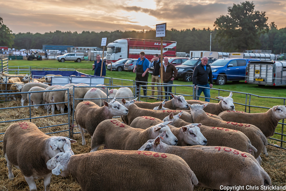 Kelso, Scottish Borders, Scotland, UK. 10th September 2021. The annual one day Kelso Ram Sales at the Border Union Agricultural Society showground. The sale is the biggest of its kind in Europe and 4,285 rams of 20 different breeds were auctioned in 2021. A new sales record was also set when a Texel shearling ram fetched £65,000.