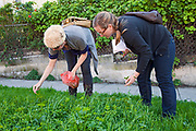 Foraging for wild edibles along parkway in Los Angeles neighborhood Echo Park. Nance Klehm leads her Urbanforage guided walk showing and educating attendees about various greens, herbs and other edibles readily found along streets, lots and front yards. Los Angeles, California, USA