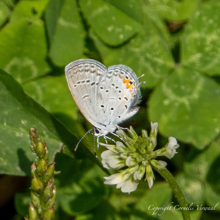 Eastern Tailed-Blue (Cupido comyntas) on white clover at The Reservoir in Central Park, Sept. 13, 2021.