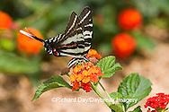 03006-002.19 Zebra Swallowtail (Eurytides marcellus) on Red Spread Lantana (Lantana camara) Marion Co.  IL