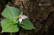 Trillium in Olympic National Park, Washinton, USA
