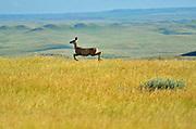 White-tailed deer (Odocoileus virginianus)<br />Grasslands National Park<br />Saskatchewan<br />Canada