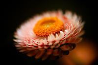 A beautiful Strawflower in full bloom.