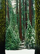 Fresh snow in the Mariposa Grove of Giant Sequoias, Yosemite National Park, California.