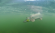 Northern Pike (on a fly)<br /> <br /> Paul Vecsei/Engbretson Underwater Photography