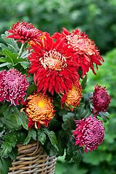 Chrysanthemums in a basket