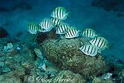 convict tangs or manini, <br /> Acanthurus triostegas sandvicensis, grazing on algae<br /> Black Rock, Maui, Hawaii, USA ( Pacific )