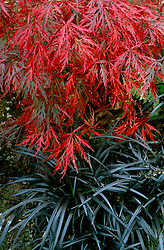 A foliage association of Acer palmatum dissectum group and Ophiopogon planiscapus 'Nigrescens'