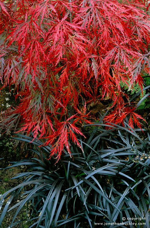 A foliage association of Acer palmatum dissectum group and Ophiopogon planiscapus 'Nigrescens'
