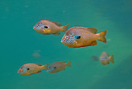 Group of Longear Sunfish<br /> <br /> Isaac Szabo/Engbretson Underwater Photo