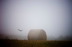 Crow flying across hay bales in a mist covered field, King's Norton, Leicestershire, England, UK.
