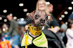 © Licensed to London News Pictures. 07/05/2016. London, UK. Mugly, a Chinese Crested and the world's ugliest dog 2012 poses for the camera.  Mugly now works as a therapy dog.  Huge crowds of pet lovers visit The National Pet Show at the Excel centre.  Everything from dogs, cats, small furry animals to reptiles are on show for visitors to meet. Photo credit : Stephen Chung/LNP