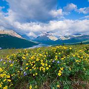 wildlife flowers on the blackfeet reservation, rising wolf glacier park