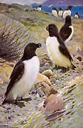 The razorbill, razor-billed auk, or lesser auk (Alca torda) is a colonial seabird in the monotypic genus Alca of the family Alcidae, the auks. It is the closest living relative of the extinct great auk (Pinguinis impennis). Wild populations live in the subarctic waters of the Atlantic Ocean. from the book '  Animal portraiture ' by Richard Lydekker, and illustrated by Wilhelm Kuhnert, Published in London by Frederick Warne & Co. in 1912