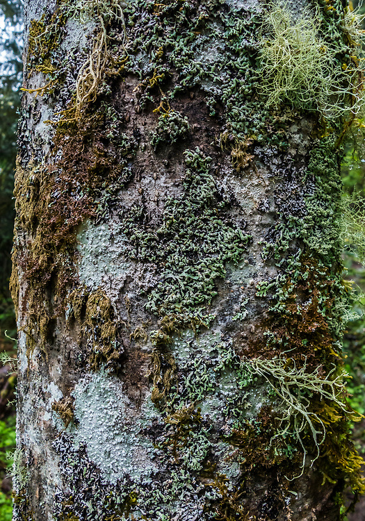 Red Alder tree covered in lichen and moss, Tiger Mountain Trail, Washington, USA.
