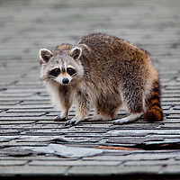 A Racoon on the roof of an adandoned building at Sandy Hook New Jersey