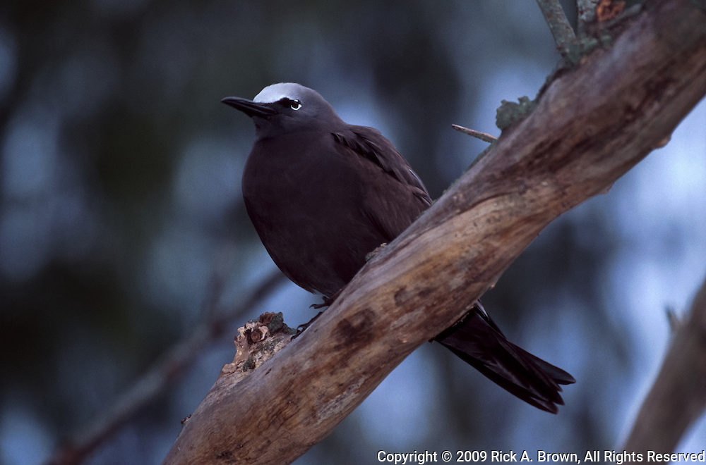 USA, Midway Atoll National Wildlife Refuge, A Black Noddy (Anous minutus)
