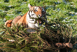 © Licensed to London News Pictures.  14/01/2015. Wraxall, North Somerset, UK.  Bengal tigers Tiana age 12 (female) and Khan age 10 (male) at Noah's Ark Farm Zoo enjoy left over Christmas trees provided by Almondsbury Garden Centre.  They like the smell of the pine but the trees are also sprayed with musky scent to attract them.  Photo credit : Simon Chapman/LNP
