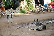 South East Asia, Cambodia, Phnom Penh. Domestic dogs running free in the streets in the villages nearby Phnom Penh<br /><br />Whilst some people eat dog meat, it is not commonplace. But it is a poorman's meat as it is a cheaper than beef, pork or chicken. The practice of hunting and catching stray dogs is common place, and sometimes even poaching domestic dogs. The Khmer prefer wild dog to 'farm' grown dogs. However the dogs are often treated inhumanely, and killed by strangulation or even boiled alive. It is thought by some that a dog filled with fear makes better meat. The animal is shaved and butchered. Favorite khmer dishes include dog paw curry and dog's head.<br /><br />Dog meat is eaten all over the world. An estimated 25 million dogs are eaten every year. For some societies eating dog is taboo, for others its acceptable.