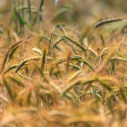 A Close up of a wheat field