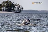 Bottlenose dolphins in Everglades National Park, Florida, USA