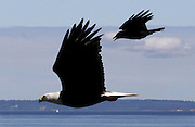 In hot pursuit, a crow dives at a bald eagle off Alki Beach, likely telling it to move along and get away from a nearby nest. (Alan Berner / The Seattle Times)