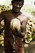 Removing Coconut Husks, Sri Lanka.